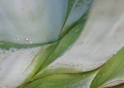 agaves 1